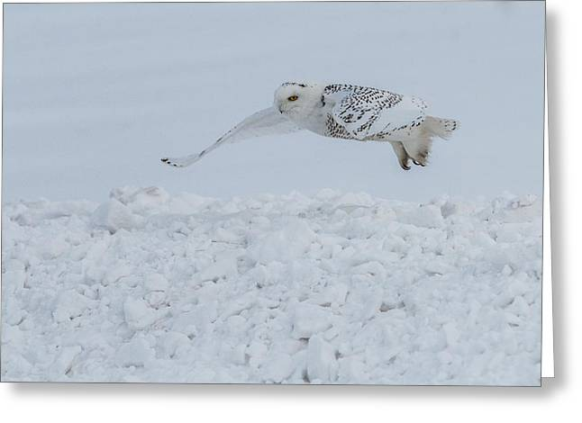 Hunting Bird Greeting Cards - Snowy Owl 1 of 3 Greeting Card by Patti Deters