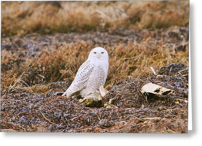 Snowie Greeting Cards - Snowy Owl Greeting Card by Peggy Collins