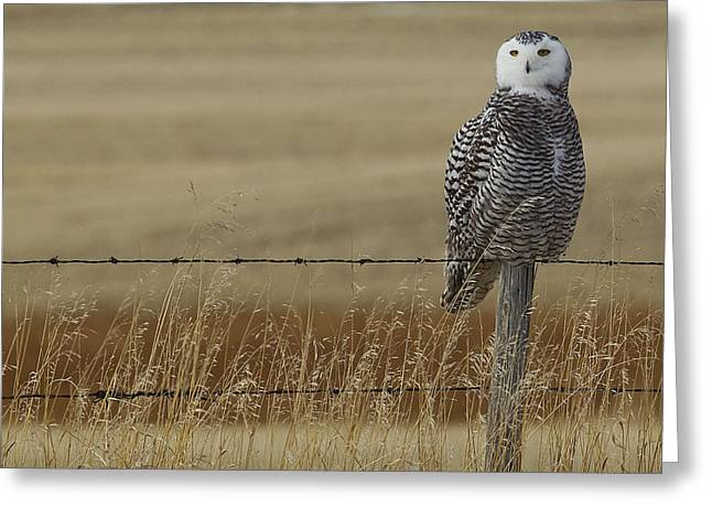 Barbed Wire Fences Greeting Cards - Snowy Owl Perched On Barbed Wire Fence Greeting Card by Robert Postma