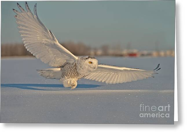 Michael Cummings Greeting Cards - Snowy Owl Pictures 7 Greeting Card by Michael Cummings