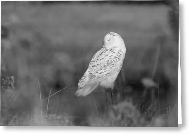 Stratford Ct Greeting Cards - Snowy Owl Resting  Greeting Card by Stephanie McDowell