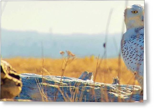 Snowy Owl Greeting Card by Robert Martin