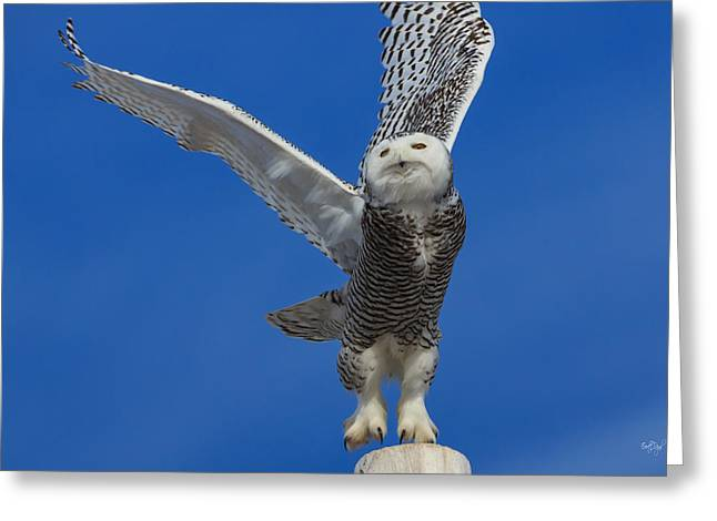 Snowy Owl Greeting Cards - Snowy Owl taking flight Greeting Card by Everet Regal