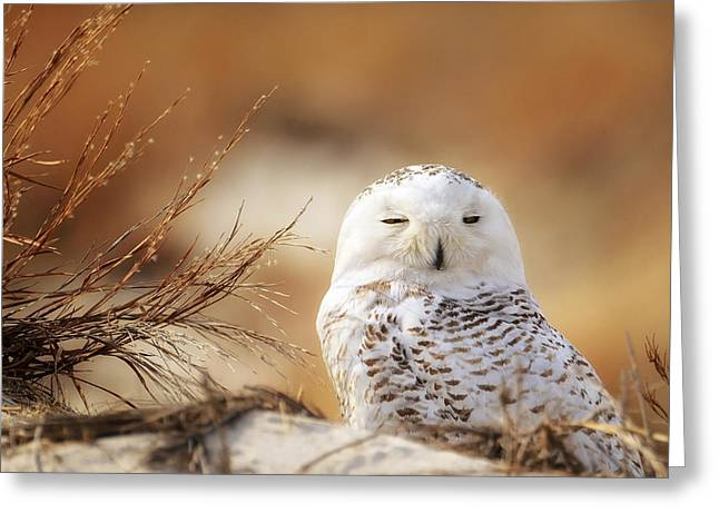 Babylon Greeting Cards - Snowy Owl Up Close Greeting Card by Vicki Jauron