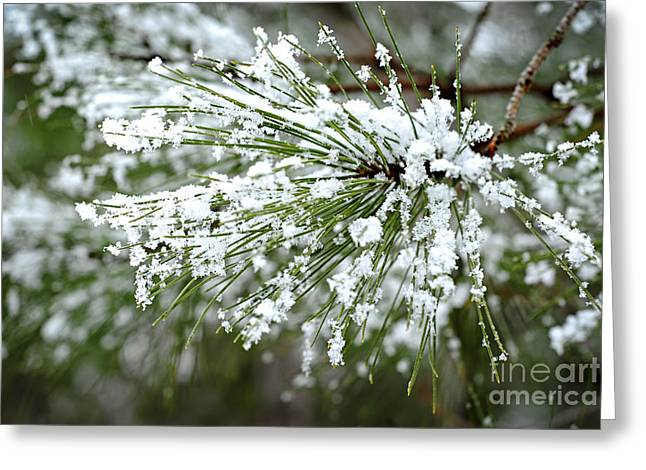 Frosty Greeting Cards - Snowy pine needles Greeting Card by Elena Elisseeva
