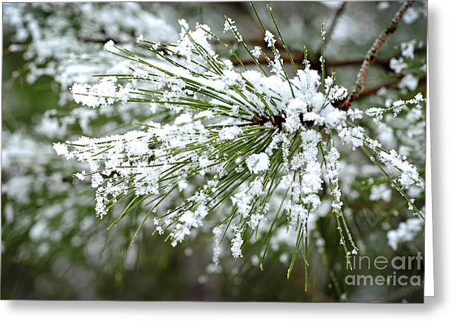 Frost Greeting Cards - Snowy pine needles Greeting Card by Elena Elisseeva