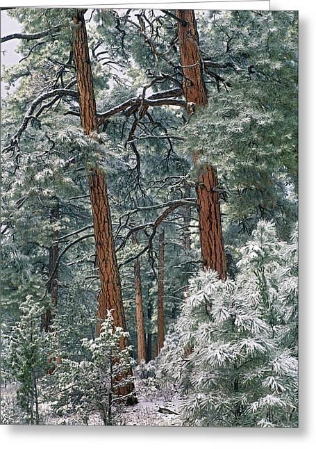 Tim Fitzharris Greeting Cards - Snowy Ponderosa Pines Greeting Card by Tim Fitzharris