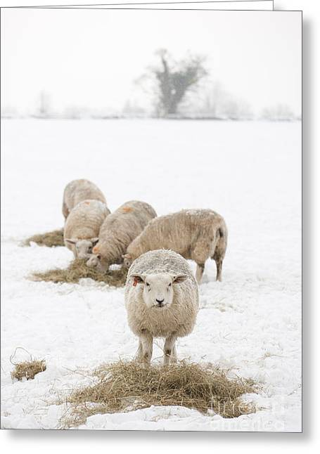 Wintry Photographs Greeting Cards - Snowy Sheep Greeting Card by Anne Gilbert