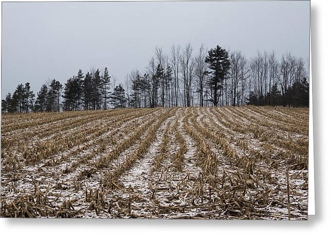 Snowy Day Greeting Cards - Snowy Winter Cornfields Greeting Card by Georgia Mizuleva