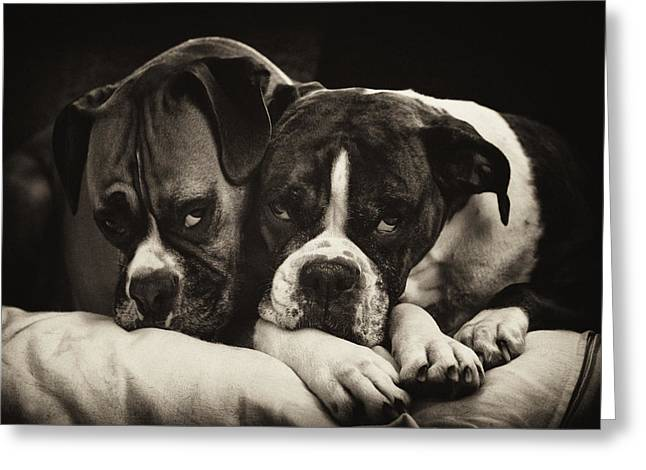 Boxer Print Greeting Cards - Snuggle Bug Boxer Dogs Greeting Card by Stephanie McDowell