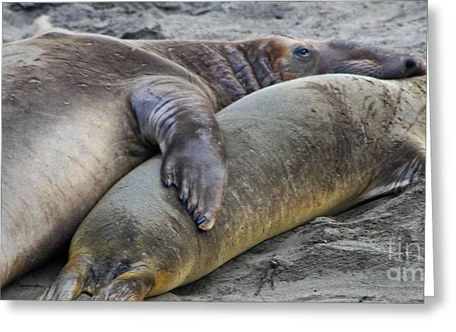 Elephant Seals Greeting Cards - Snuggling Elephant Seals Greeting Card by Kris Hiemstra