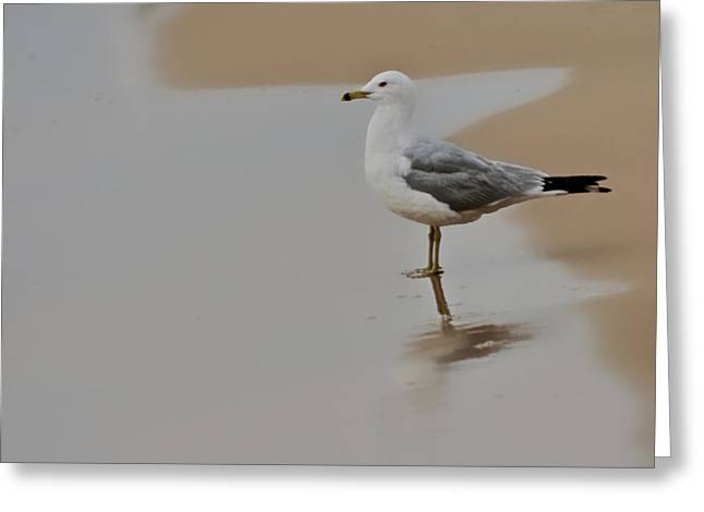 Ring-billed Gull Greeting Cards - So Many More Miles Greeting Card by Odd Jeppesen