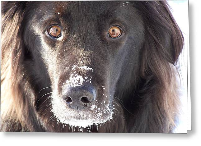 Throw Down Greeting Cards - Border-Collie-Newfoundland   Greeting Card by Dan Comeau