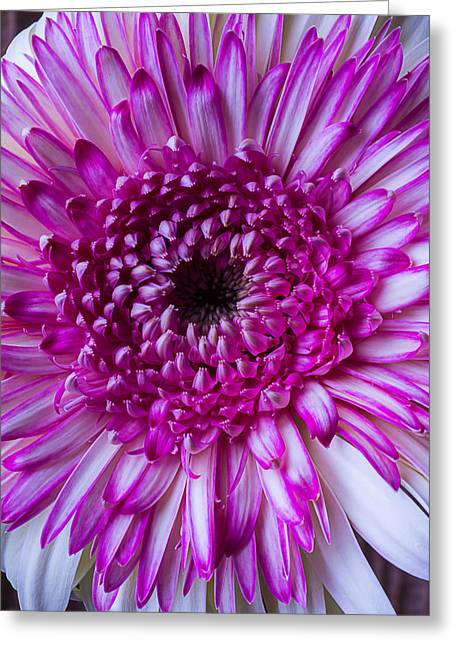 Pink Chrysanthemums Greeting Cards - So Pink and White Mum Greeting Card by Garry Gay