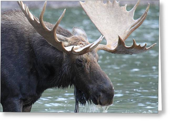 Moose In Water Greeting Cards - Soaked Greeting Card by Adam Jewell