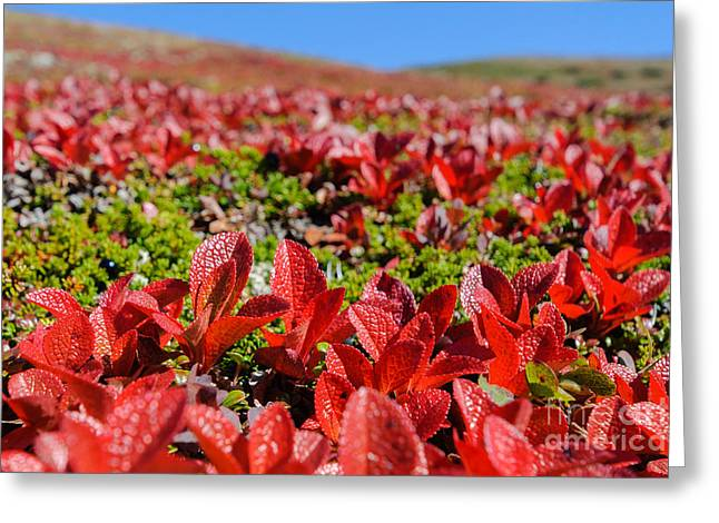 Alaska Greeting Cards - Soapberry Greeting Card by Susan Serna