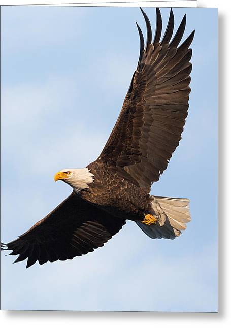 Eagle In Flight Greeting Cards - Soaring American Bald Eagle Greeting Card by Bill Wakeley
