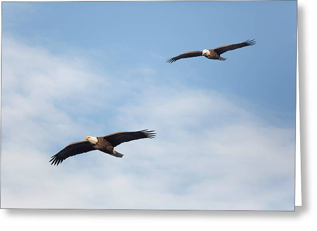 Eagle In Flight Greeting Cards - Soaring Bald Eagles Greeting Card by Bill Wakeley