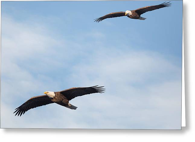Eagles In Flight Greeting Cards - Soaring Bald Eagles Square Greeting Card by Bill Wakeley