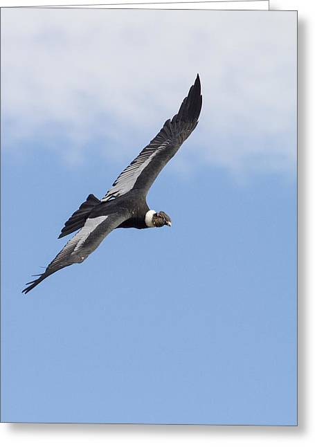 Soaring Condor Greeting Card by Tim Grams