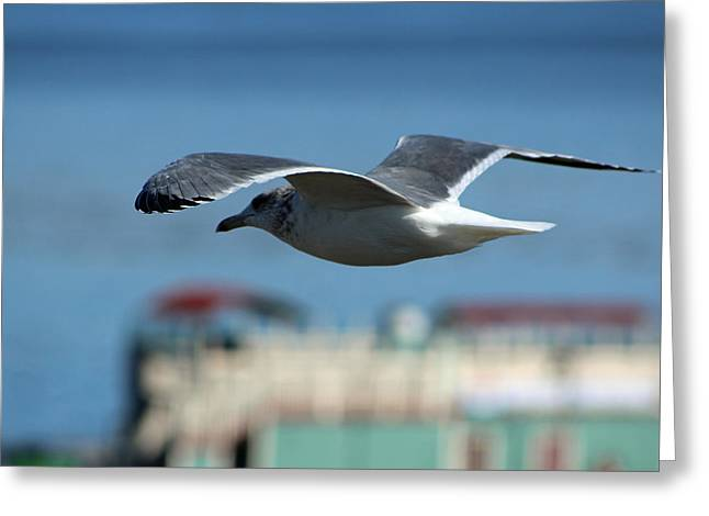 Santa Cruz Wharf Greeting Cards - Soaring Greeting Card by Deana Glenz