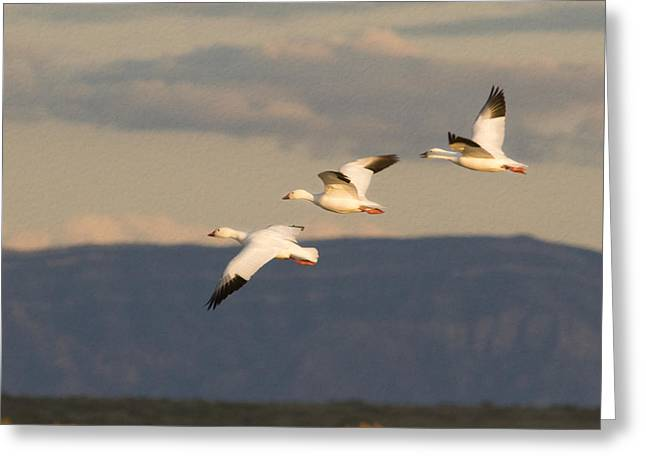 Wildlife Refuge. Greeting Cards - Soaring Geese Greeting Card by Jean Noren