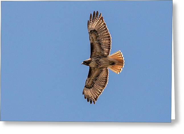 Love The Animal Greeting Cards - Soaring Greeting Card by John Ferrante