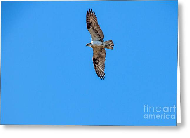 Soaring Osprey Greeting Card by Robert Bales