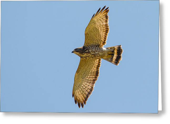 Majestic Falcon Greeting Cards - Soaring Greeting Card by Parker Cunningham