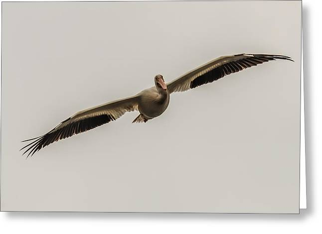 Flying White Pelicans Greeting Cards - Soaring Pelican Greeting Card by Paul Freidlund