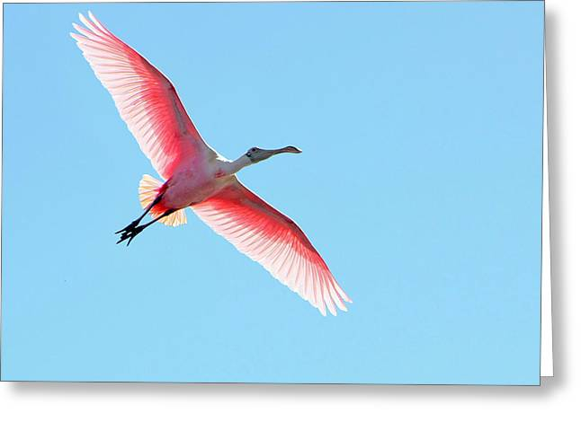 Wildlife Refuge. Greeting Cards - Soaring Spoonbill Greeting Card by Dawn Currie