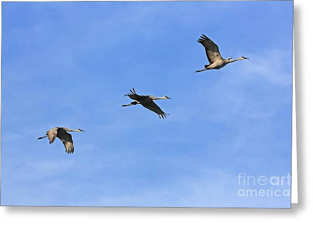 Cranes In Florida Greeting Cards - Soaring with Sandhills Greeting Card by Carol Groenen