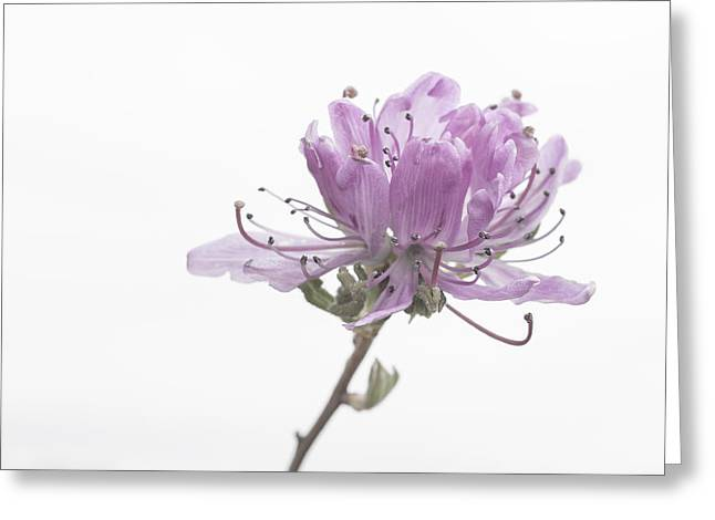 Persuade Greeting Cards - Soft and Delicate Greeting Card by Patsy Zedar