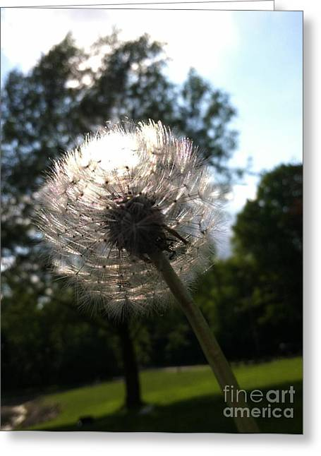 Dandilion Greeting Cards - Soft Around The Edges Greeting Card by Trish Hale