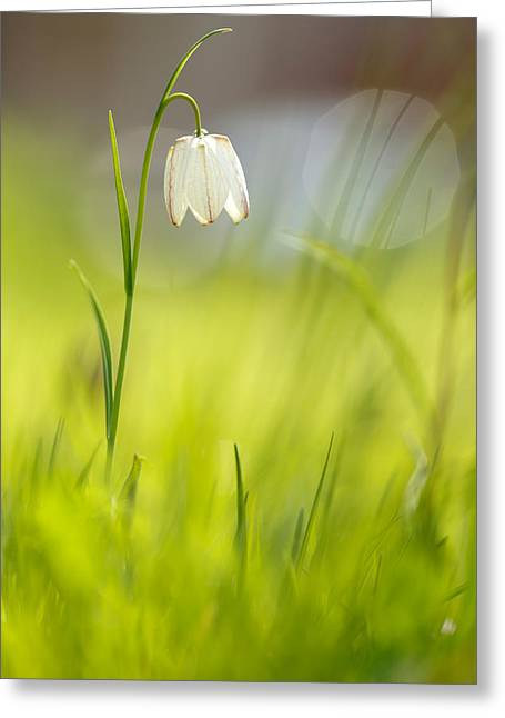 Fritillaria Greeting Cards - Soft Awakenings - White Chess Flower Greeting Card by Roeselien Raimond