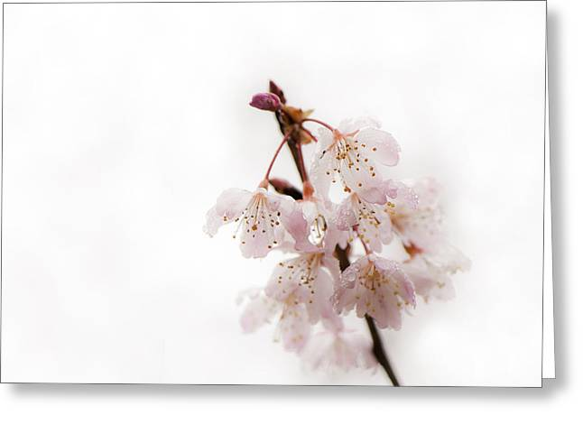 Close Focus Floral Greeting Cards - Soft Cherry Plum Greeting Card by Anne Gilbert