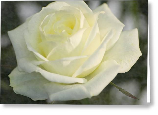 Cream Rose Greeting Cards - Soft Cream Rose Greeting Card by Brian Roscorla