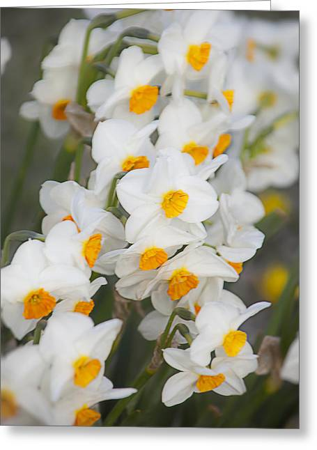 Soft Greeting Cards - Soft Daffodils Greeting Card by Garry Gay