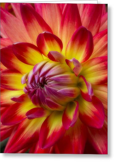 Soft Romantic Greeting Cards - Soft Dahlia Greeting Card by Garry Gay