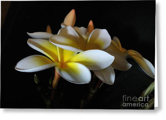 Soft Light Greeting Cards - Soft light on Plumeria Greeting Card by Kaye Menner