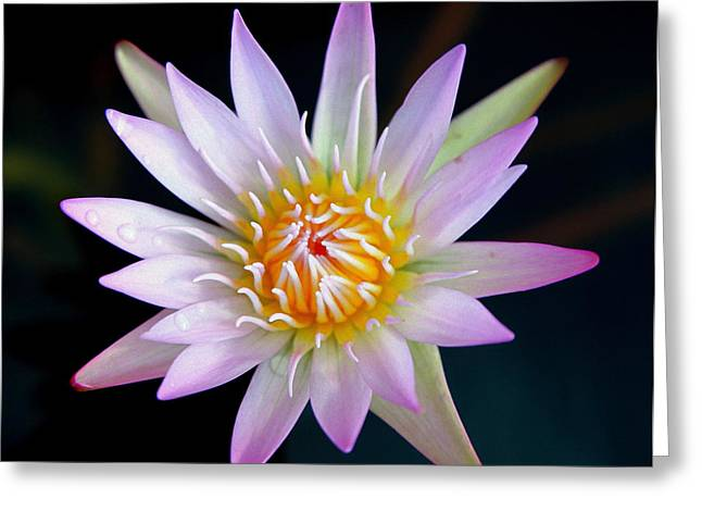 Water Lilly Greeting Cards - Soft Lullabye Greeting Card by Karen Wiles