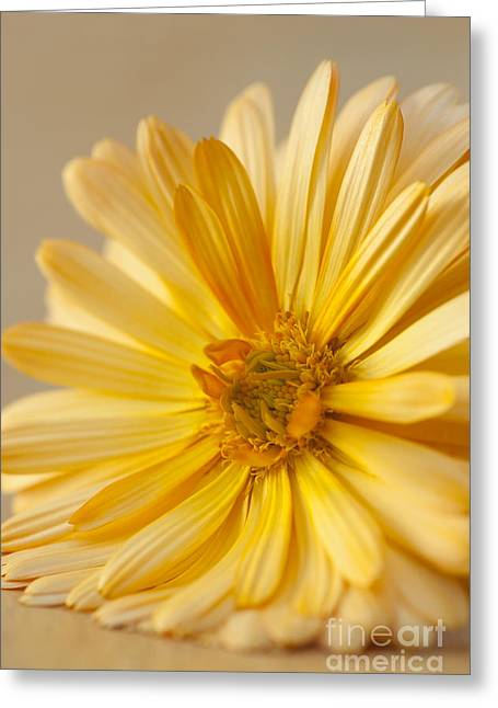 Soft Marigold Greeting Card by Anne Gilbert