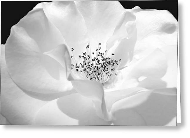 White Rose Greeting Cards - Soft Petal Rose in Black and White Greeting Card by Jennie Marie Schell