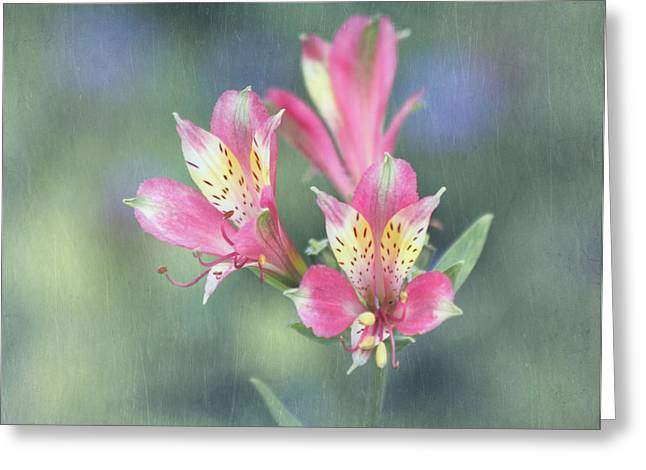 Alstroemeria Greeting Cards - Soft Pink Alstroemeria Flower Greeting Card by Kim Hojnacki