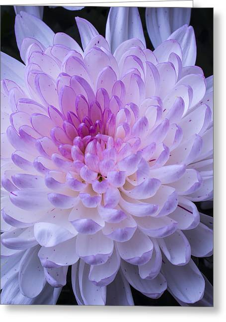 Pink Chrysanthemums Greeting Cards - Soft Pink Mum Greeting Card by Garry Gay