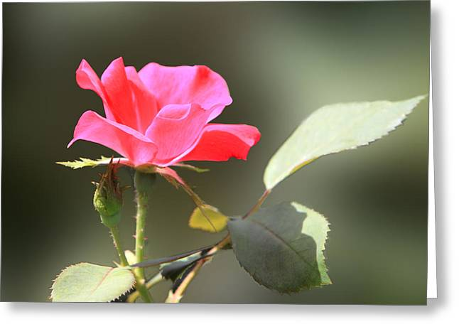 Soft Tender Old Fashioned Rose Greeting Card by Linda Phelps