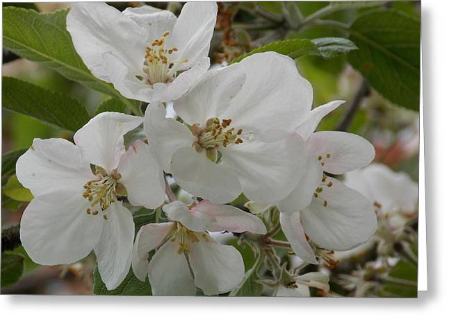 White Pyrography Greeting Cards - Soft White Apple Blossoms Greeting Card by Roxanne Luckman
