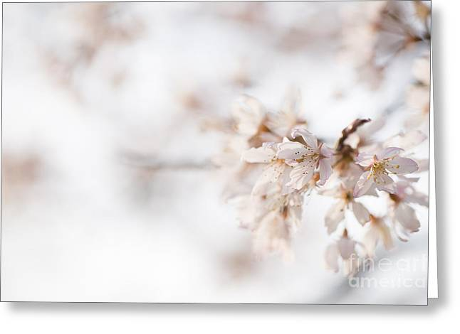Close Focus Floral Greeting Cards - Softly Blossom Greeting Card by Anne Gilbert