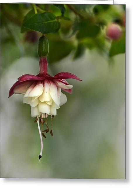 Fushia Greeting Cards - Softly Hanging Greeting Card by Ann Bridges