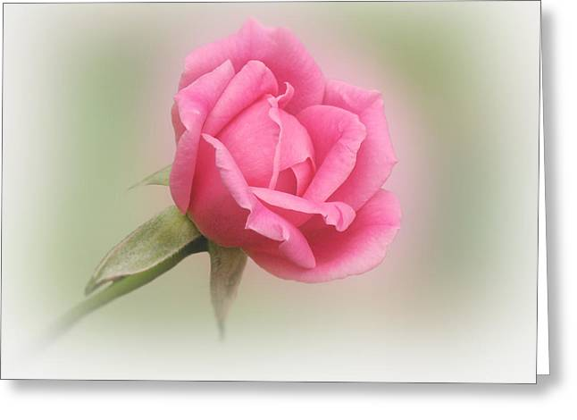 Indiana Roses Greeting Cards - Softly Pink Greeting Card by Sandy Keeton